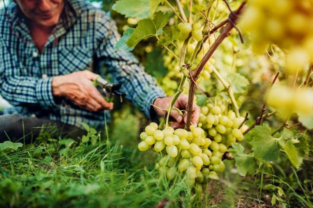 Landwirt, der ernte von trauben auf ökologischem bauernhof erfasst. Premium Fotos