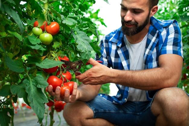 Landwirt, der frisches reifes tomatengemüse für den marktverkauf pflückt Kostenlose Fotos