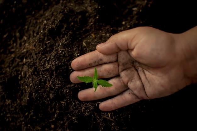Landwirt, der hanfhandsämlingen eines mineraldüngemittels gibt Premium Fotos