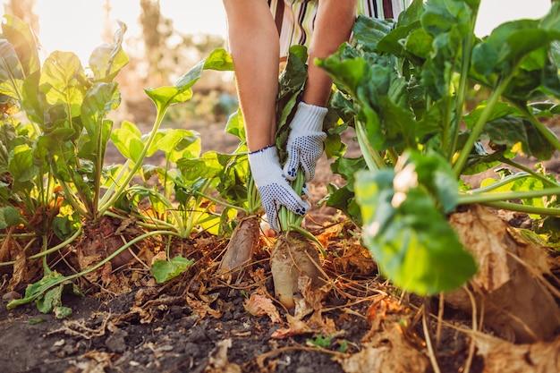 Landwirt, der rote-bete-wurzeln boden herauszieht Premium Fotos