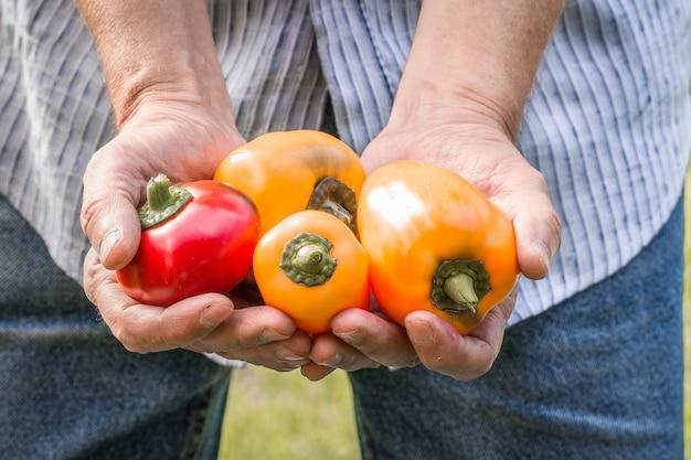 Landwirt hält frische paprika. lebensmittel, gemüse, landwirtschaft Premium Fotos