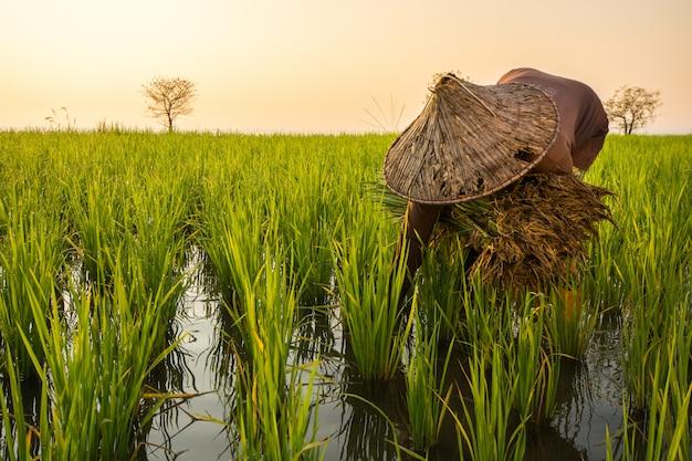 Landwirt pflanzt reissämlinge im see an pakpra-dorf, phatthalung, thailand Premium Fotos