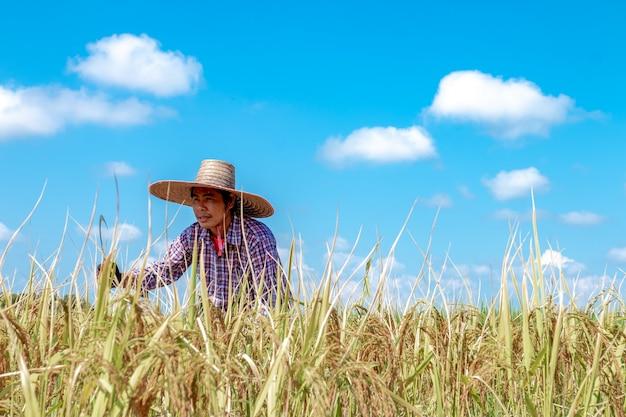 Landwirte ernten getreide in den reisfeldern. heller himmelstag Premium Fotos