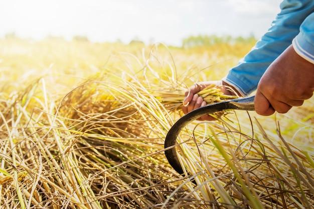Landwirte ernten reis auf den feldern. landwirtschaftskonzept Premium Fotos