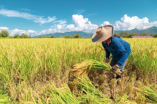 Landwirte ernten reis in der heißen sonne: nan, thailand, 25. oktober 2018 Premium Fotos
