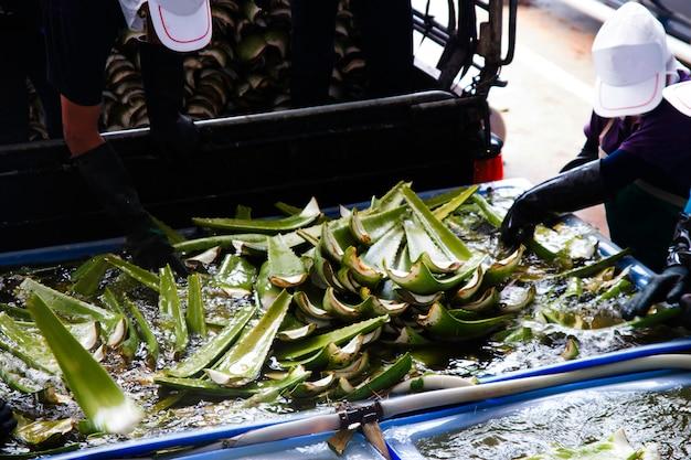 Landwirte in morgen aloe mit bearbeitung der aloe vera in thailand Premium Fotos