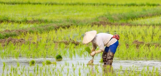 Landwirte pflanzen reis in der farm Premium Fotos