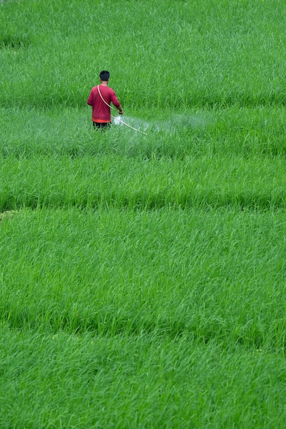 Landwirte sprühen insekten auf seinem feld Premium Fotos