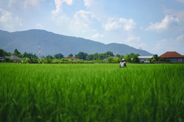 Landwirtkontrollflutreisfeld mit reispflanze Premium Fotos