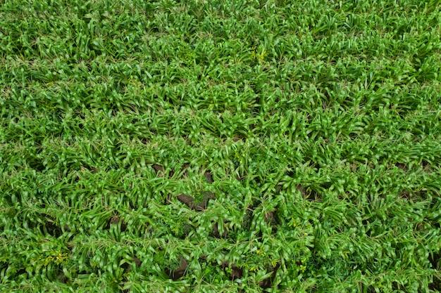 Landwirtschaftliche nutzfläche, die grüne maisfelder der draufsicht der landwirtvogelperspektive in thailand blüht Premium Fotos