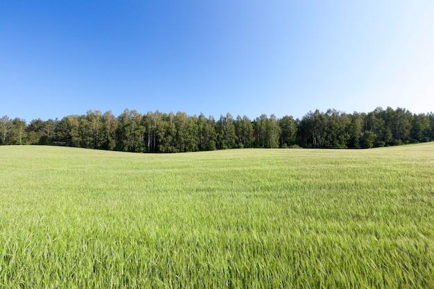 Landwirtschaftliches feld, auf dem grünes unreifes weizengras, landschaft im hintergrund blauer himmel und bäume wächst Premium Fotos