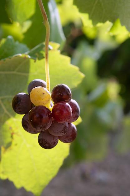 Landwirtschaftsweinrot-pampelmusenfeld Premium Fotos