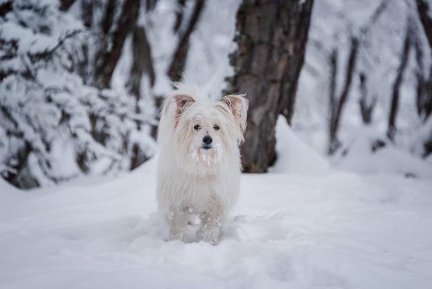 Langer überzogener weißer hund, der auf schneewald geht Kostenlose Fotos
