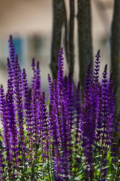 Lavendel auf dem feld Premium Fotos