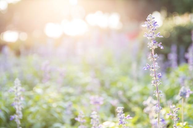 Lavendel blüht auf dem gebiet am sonnigen tag Premium Fotos