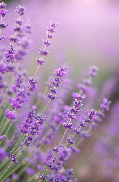 Lavendel blumen nahaufnahme. Premium Fotos