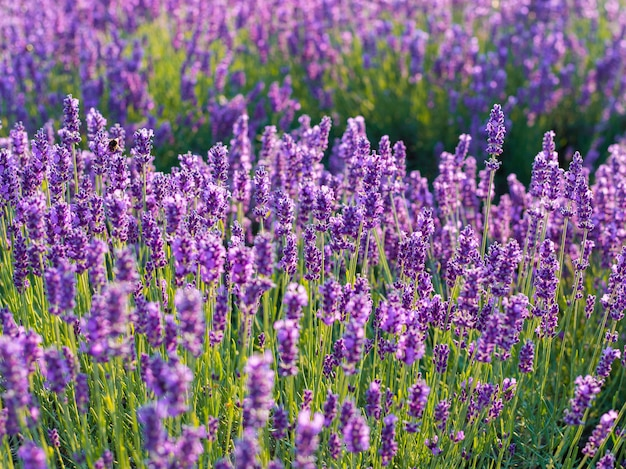 Lavendelbuschnahaufnahme auf sonnenuntergang. sonnenuntergang schimmern über lila lavendelblüten. Premium Fotos
