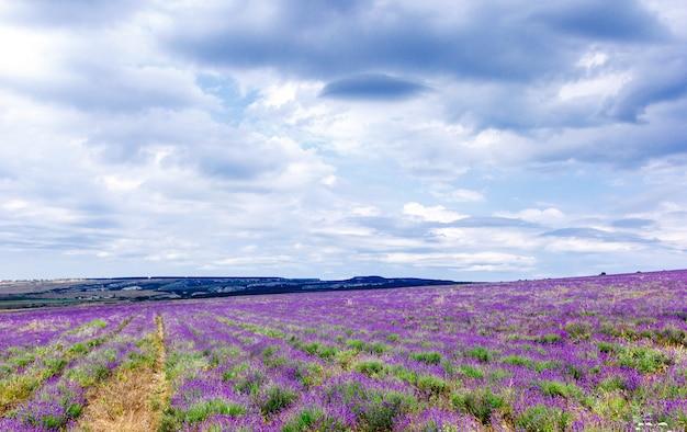 Lavendelfeld bei bewölktem wetter mit regenwolken Premium Fotos