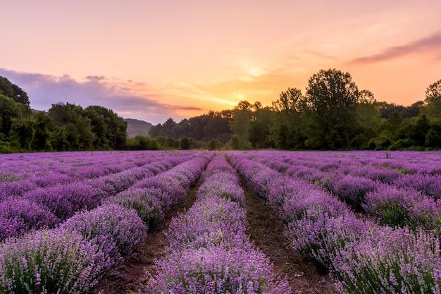 Lavendelfeld. blühende duftende blumen des schönen lavendels mit drastischem himmel. Premium Fotos