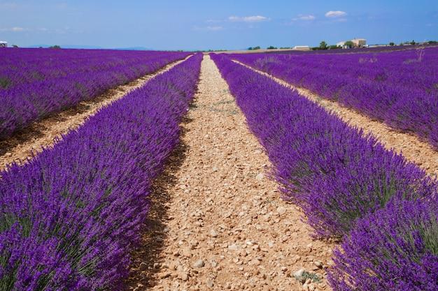 Lavendelfelder in der provence Premium Fotos