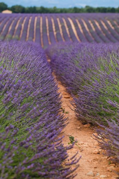 Lavendelfeldsommer-sonnenuntergangslandschaft. Premium Fotos