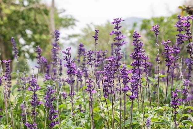 Lavendelgarten in thailnd Premium Fotos