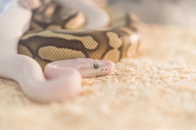 Lavender albino ballpython (python regius) Premium Fotos