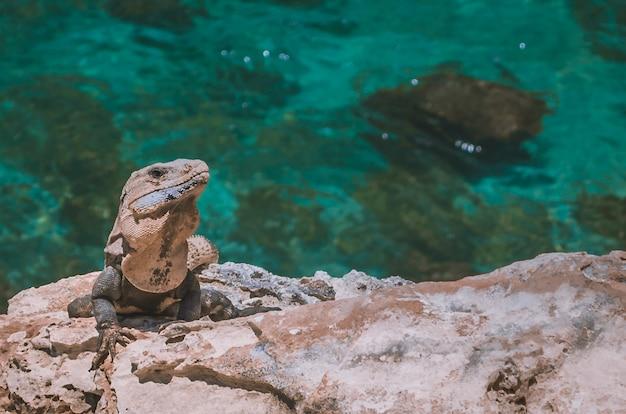 Leguan in der sonne am strand Premium Fotos
