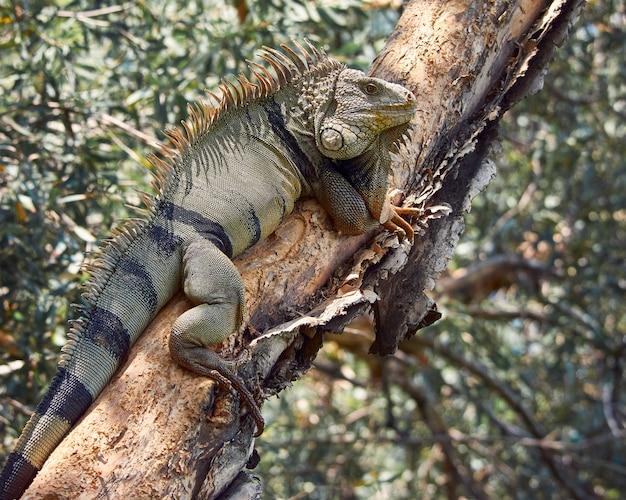 Leguan ruht auf einem baum beim sonnenbaden Premium Fotos