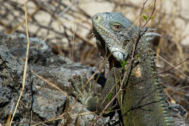 Leguan textur Kostenlose Fotos