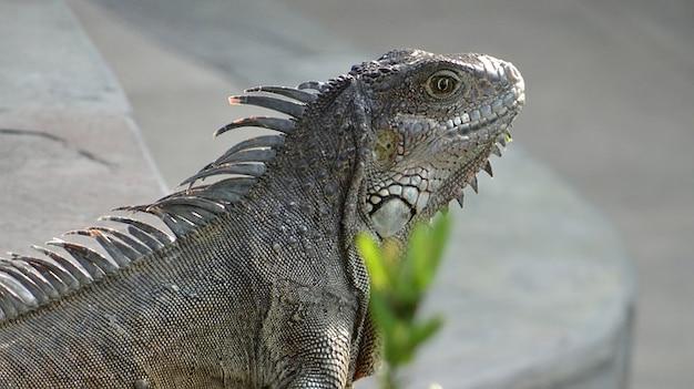 Leguane iguana galapagos Kostenlose Fotos