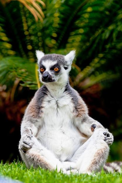 Lemur aus ringförmigem schwanz, lemur catta Premium Fotos