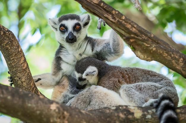 Lemur catta. Premium Fotos