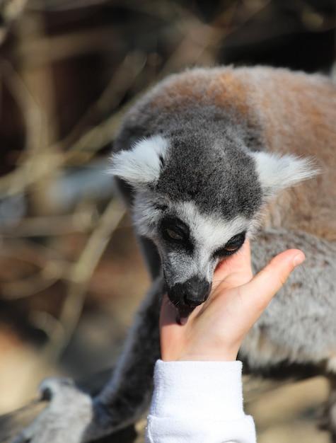 Lemur leckt die hand eines kindes Premium Fotos