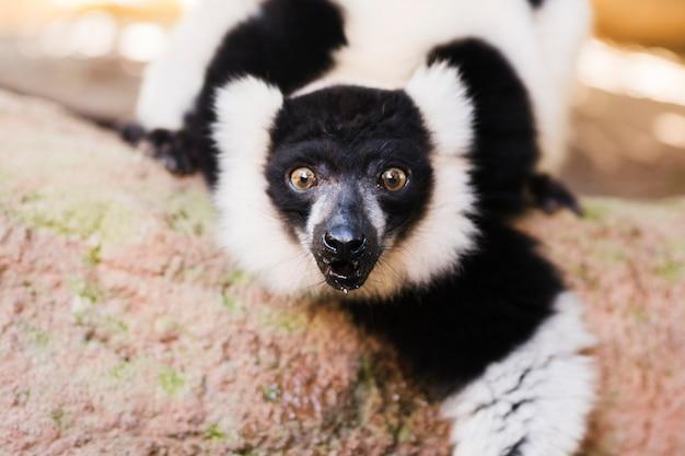 Lemur Kostenlose Fotos