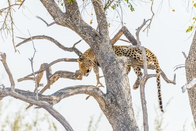 Leopard, der vom akazienbaumast gegen weißen himmel hockt. wildlife safari im etosha national park, hauptreiseziel in namibia, afrika. Premium Fotos
