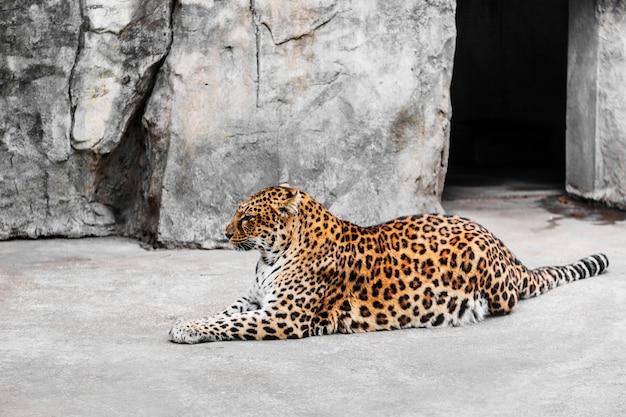 Leopard im käfig im zoo Kostenlose Fotos