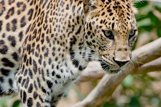Leopardporträt im wildwald Premium Fotos