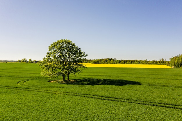 Lettische ländliche landschaft mit einsamem baum in der mitte eines grünen landwirtschaftlichen feldes an einem sonnigen tag Premium Fotos