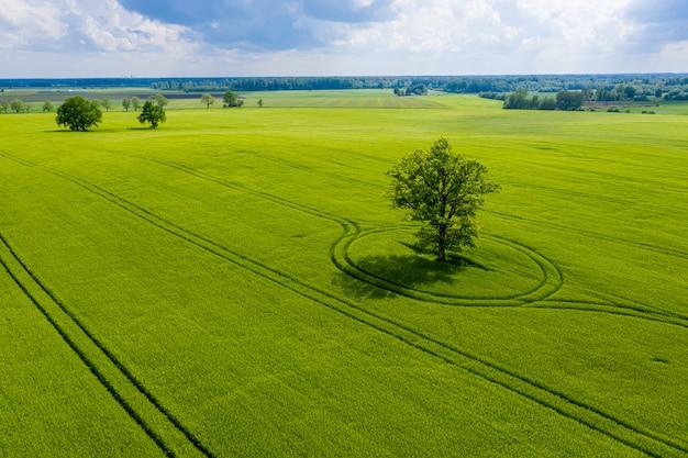 Lettische ländliche landschaft mit einsamen bäumen in der mitte eines grünen landwirtschaftlichen feldes an einem sonnigen tag Premium Fotos
