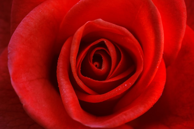 Leuchtend rote rose zum valentinstag Premium Fotos