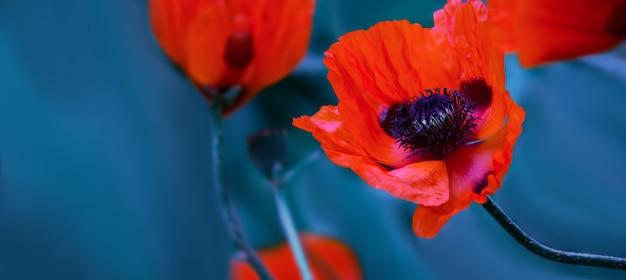 Leuchtende rote mohnblumen in einem frühlingsfeld auf natur auf einer blauen wand mit weichzeichner, makro. künstlerisches foto mit weichem bokeh in blauer tönung, banner mit platz für text. hintergrund. Premium Fotos