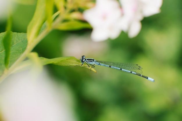 Libelle pfeil blau sitzen auf einem blatt gras Premium Fotos