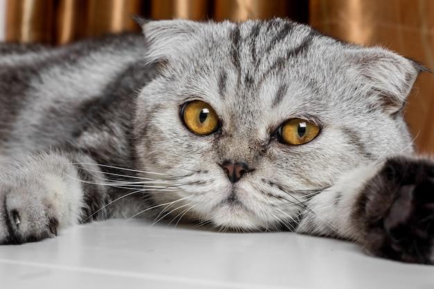 Liebenswerte scottish fold katze. Premium Fotos