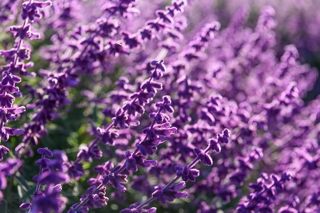Lila lavendel nahaufnahme hintergrund Kostenlose Fotos