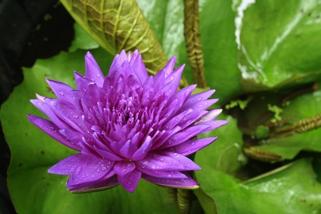 Lila lotusblüte in pfund. Premium Fotos