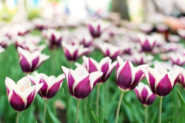 Lila tulpen sorte. violette tulpen Premium Fotos