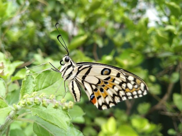 Lime butterfly (papilio demoleus, schwalbenschwanzschmetterling) bleibt noch auf grünen blättern Premium Fotos