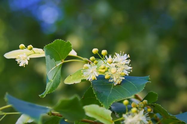 Lindenblüte Kostenlose Fotos