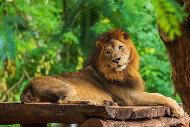 Löwe, der nahe einem baum stillsteht Premium Fotos